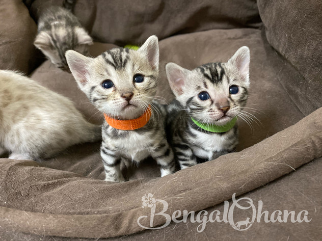 Silver Kittens from Hina & Maui