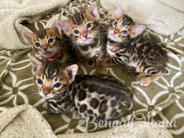 Brown Kittens from Kona & Momoa
