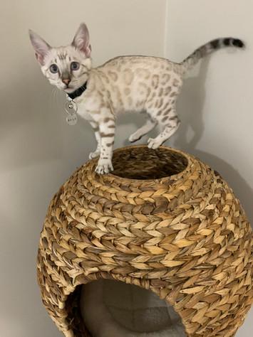 Milo (snow lynx) from Hina & Maui