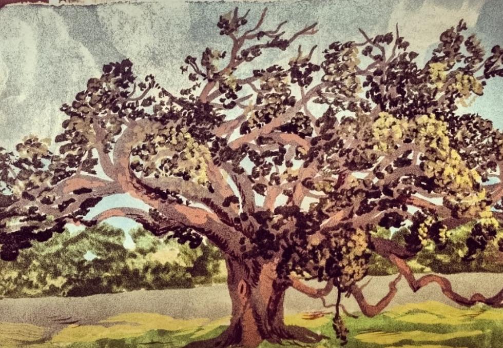 Live oak (Quercus virginiana) in City Park