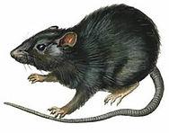 ratostelhados-1.jpg