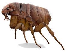 pulgas-1.jpg