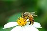 abeille lyon