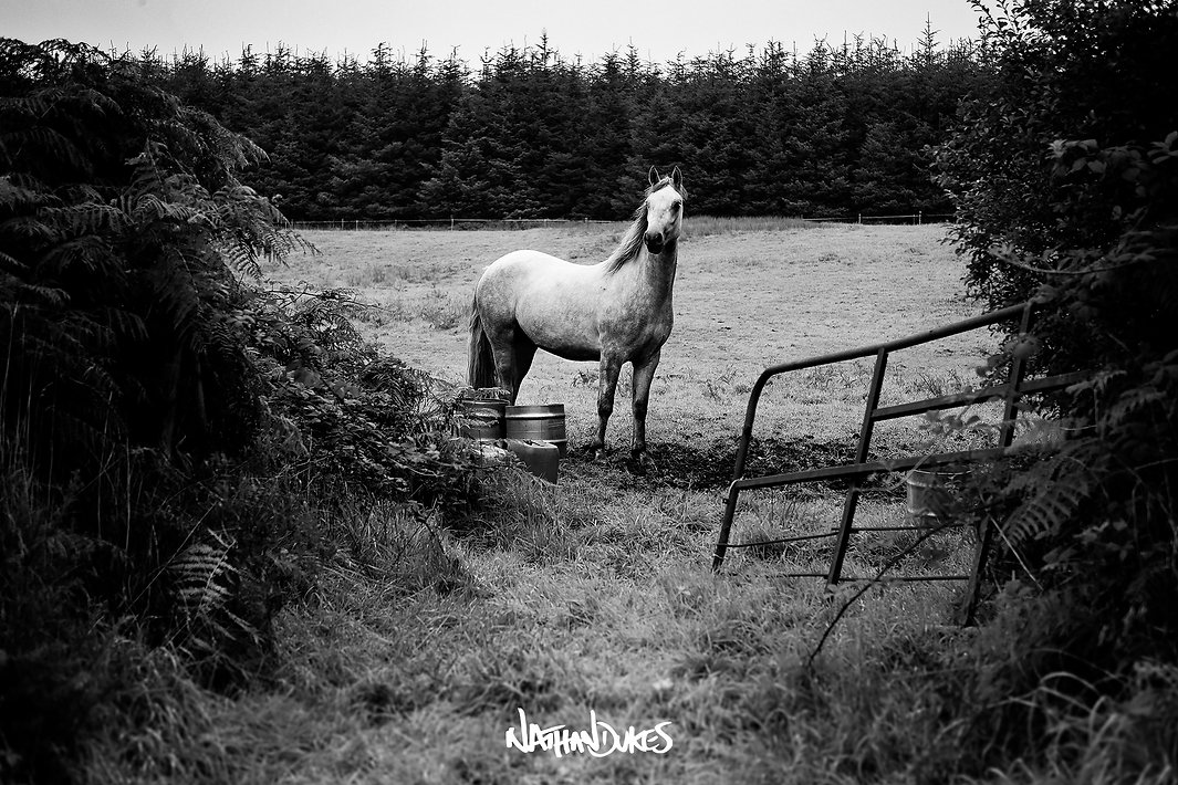 connemara pony ponies cork ireland photography black and white by nathan dukes art