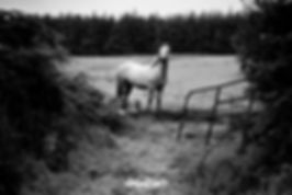 connemara pony ponies cork ireland photography black and white by nathan dukes art