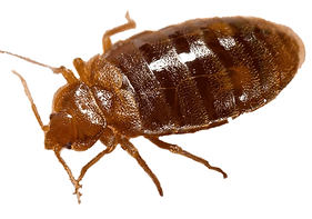 Bed_bug,_Cimex_lectulariusWOpTRANSWOp_ed