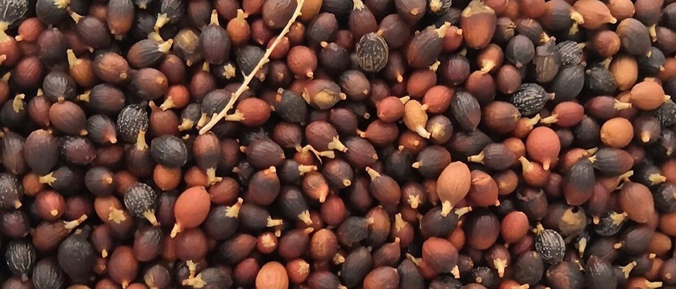 Paquete 10 semillas Canarience Datilera