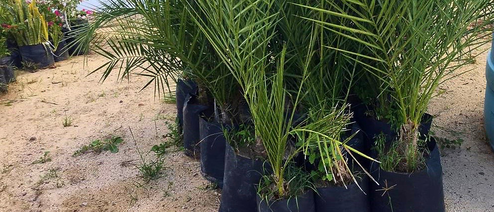 palma en venta por bajapalms, palmas en la baja california sur, la paz, los cabos, loreto, Canariense datilera en bolsa