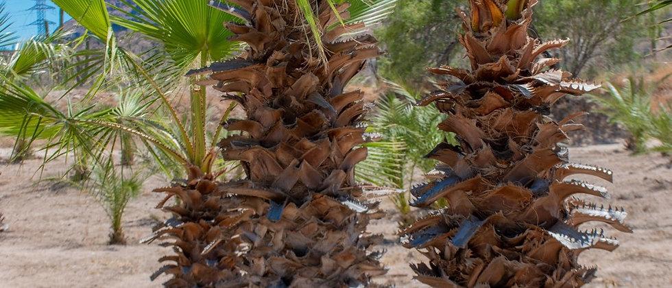 10 Washington palm seeds bag