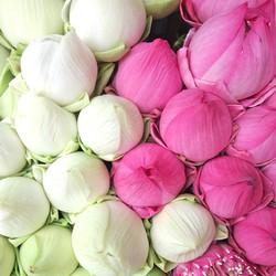 Lotus Blooms_edited