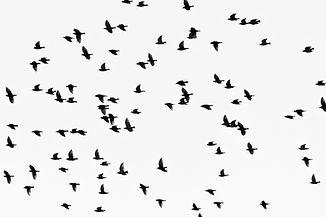 Crows.jpeg