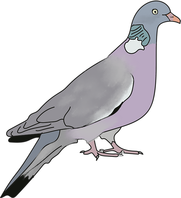 Woodpigeon.png