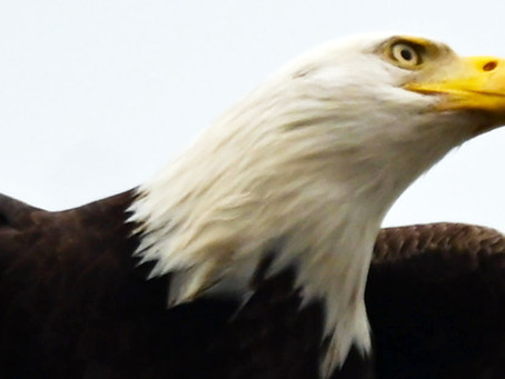 HAVE YOU SEEN OUR MAJESTIC BALD EAGLES?
