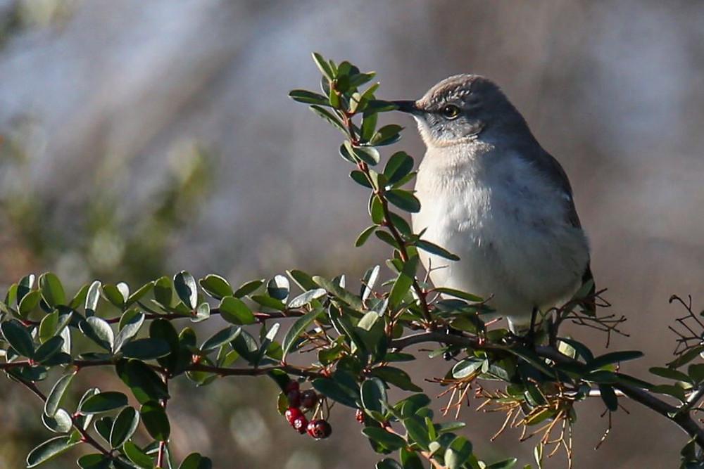 A mockingbird perched on a yaupon tree