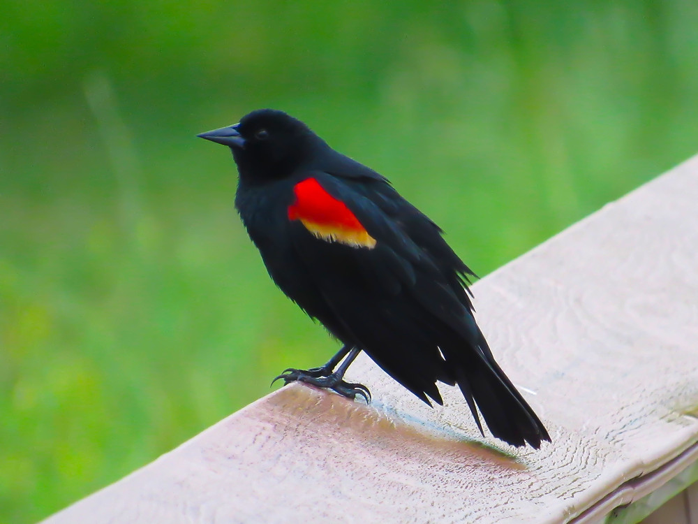 Male Red-winged Blackbird standing on a fence