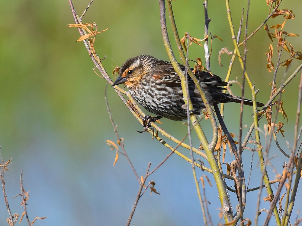 Female Red-winged Blackbird standing on a twig