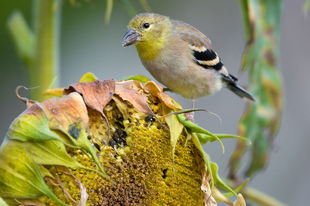 A goldfinch snacking on sunflower seeds