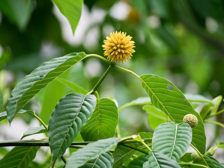 Introduction to Kratom