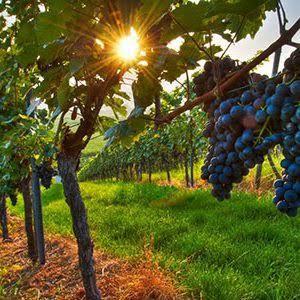 Explore some of Australia's most famous grapes