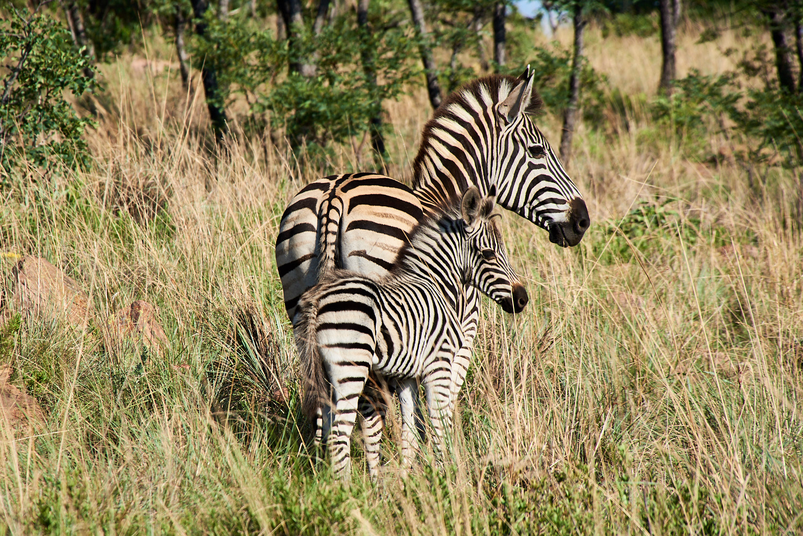 Geklont | Südafrika