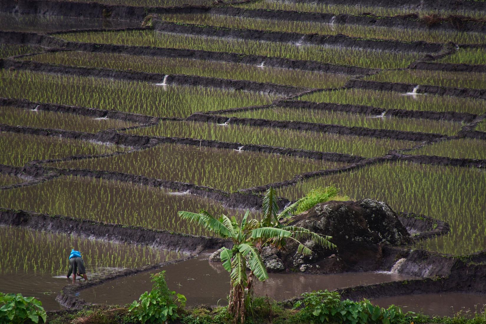 Reispflanzer | Indonesien