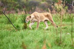 Jagdfieber   Südafrika