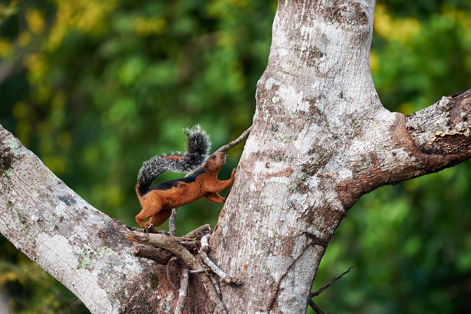 A-B Hörnchen | Costa Rica