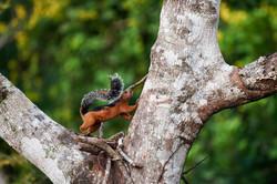 A-B Hörnchen   Costa Rica