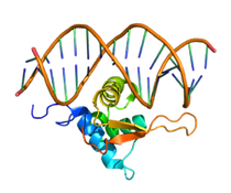 250px-Protein_FOXO1_PDB_3CO6.png