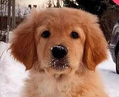 hovawart, hovawart puppy, hofmacher taiga, Taiga, Taiga hovawart