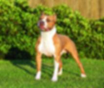 american-staffordshire-terrier-detail.jp
