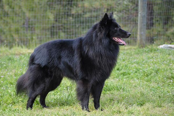 belgian-sheepdog.jpg