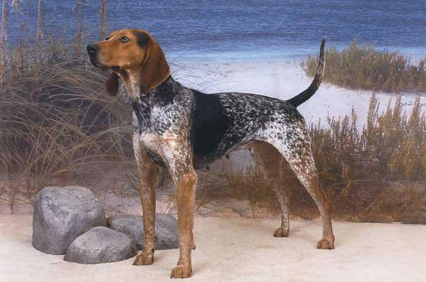 american-english-coonhound.jpg