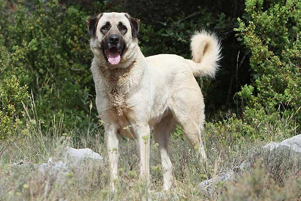 Anatolian-Shepherd-Dog-On-White-01.jpg