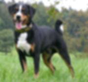 appenzeller_sennenhunde.jpg