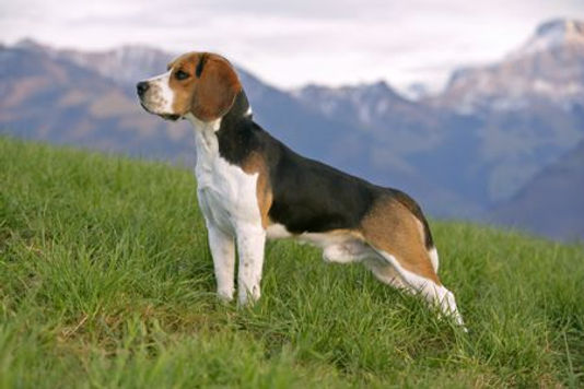 beagle-RolfKopfle-Photolibrary-Getty-135