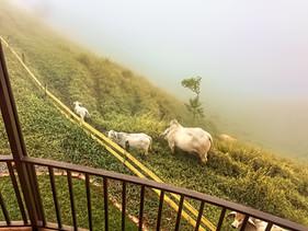 our neighbor cows