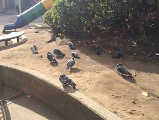 鳩の日向ぼっこ@麻布十番 網代公園