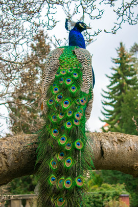 Peacocking