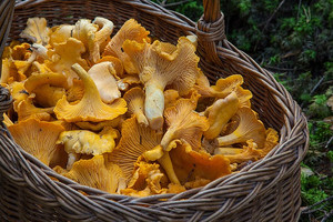 Mushroom-picking in the Finnish forests