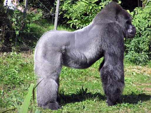 13 gorilas del zoológico de Atlanta dan positivo por covid-19