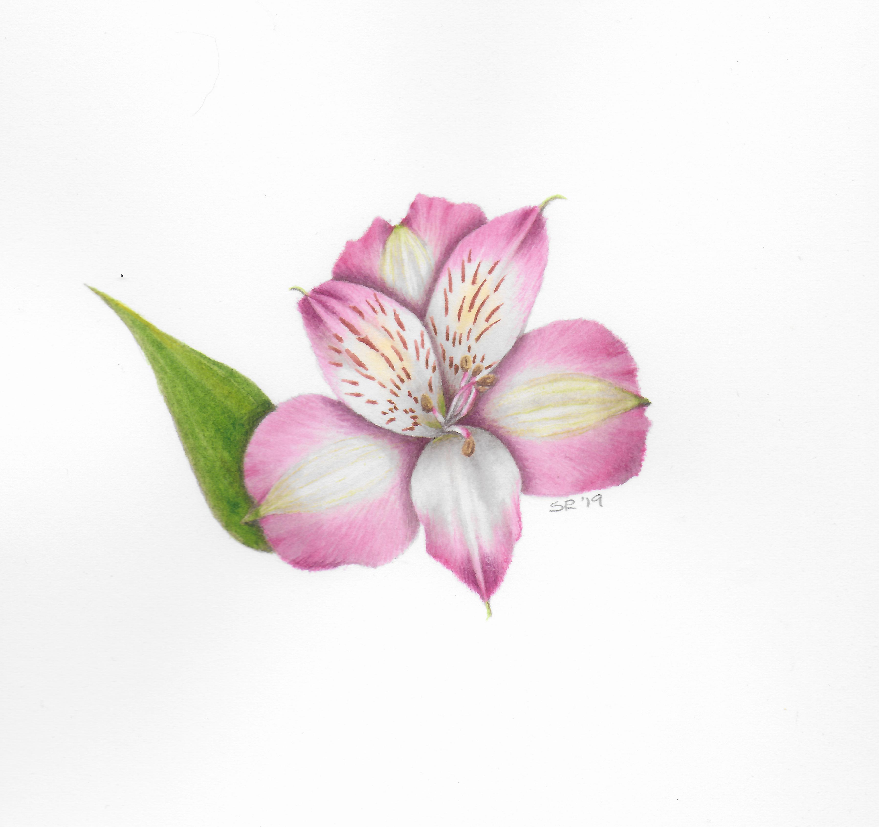 Alstromeria - Watercolor