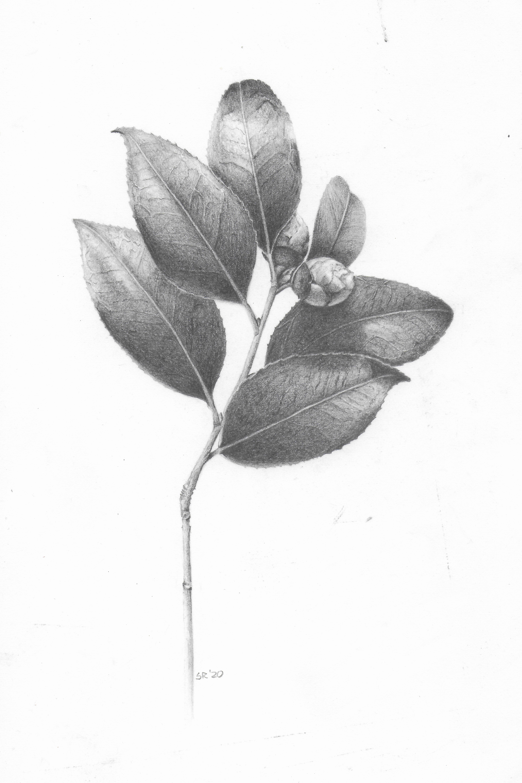 Camellia - Graphite
