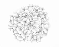 Hydrangea - Graphite