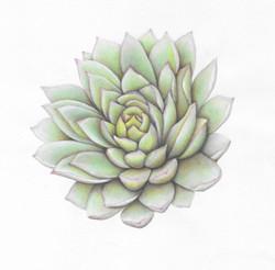 Echeveria - Watercolor