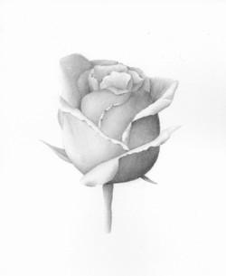 White Rose - Watercolor