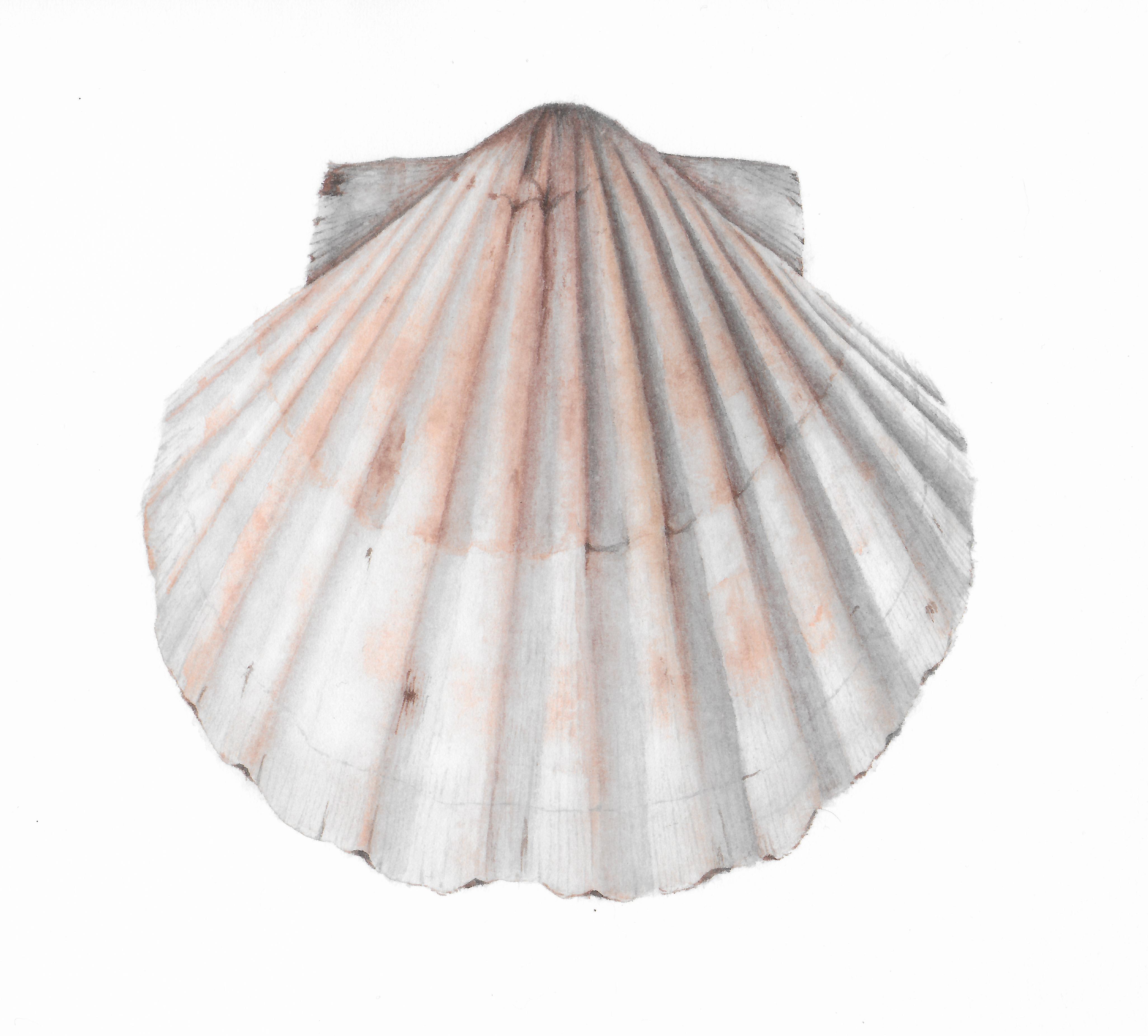 Seashell - Watercolor