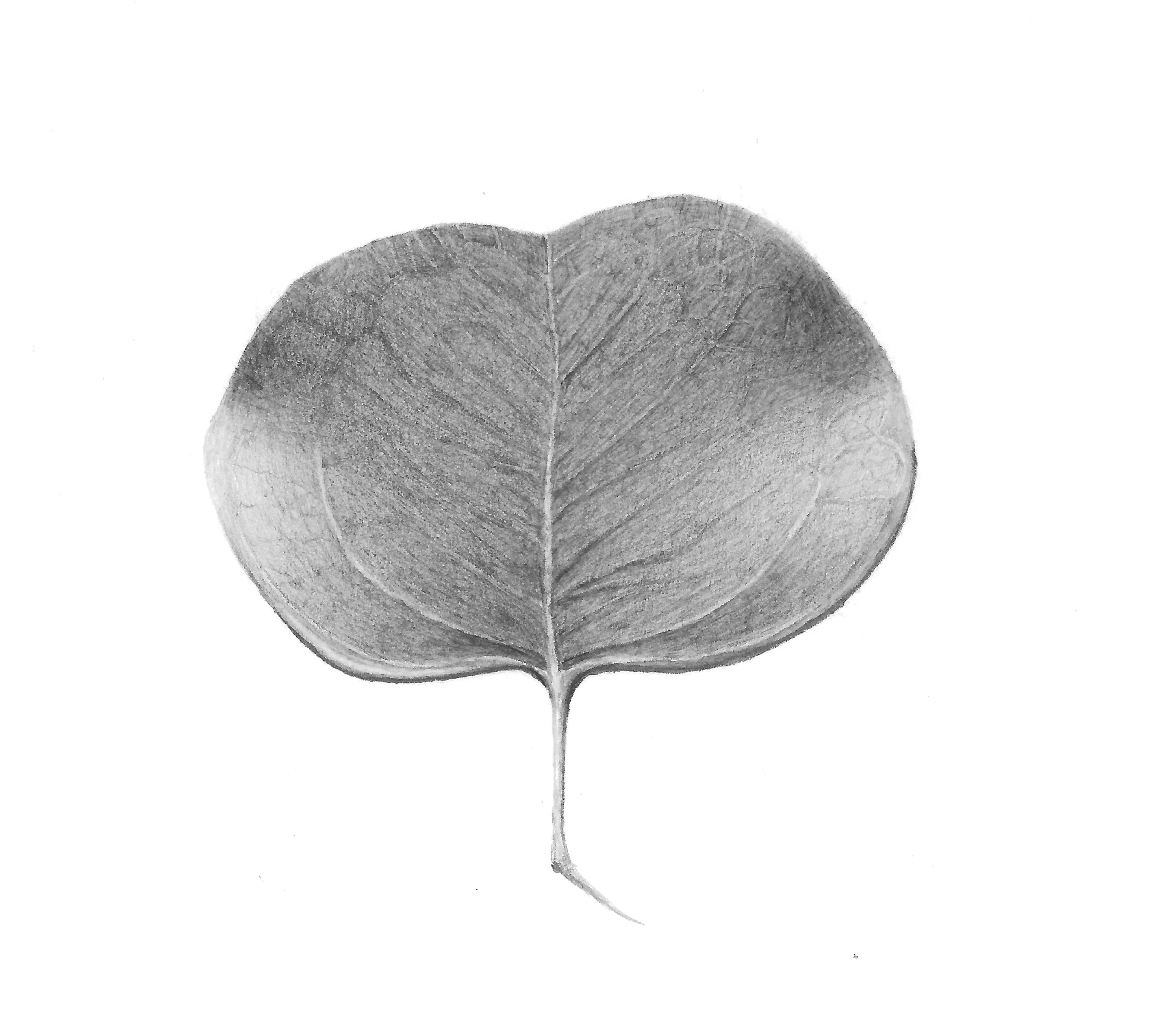 Eucalyptus - Graphite