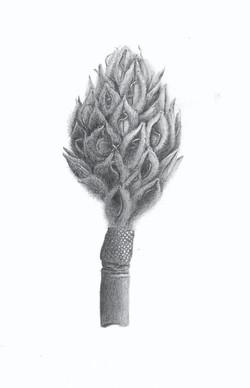Magnolia Seedpod - Graphite