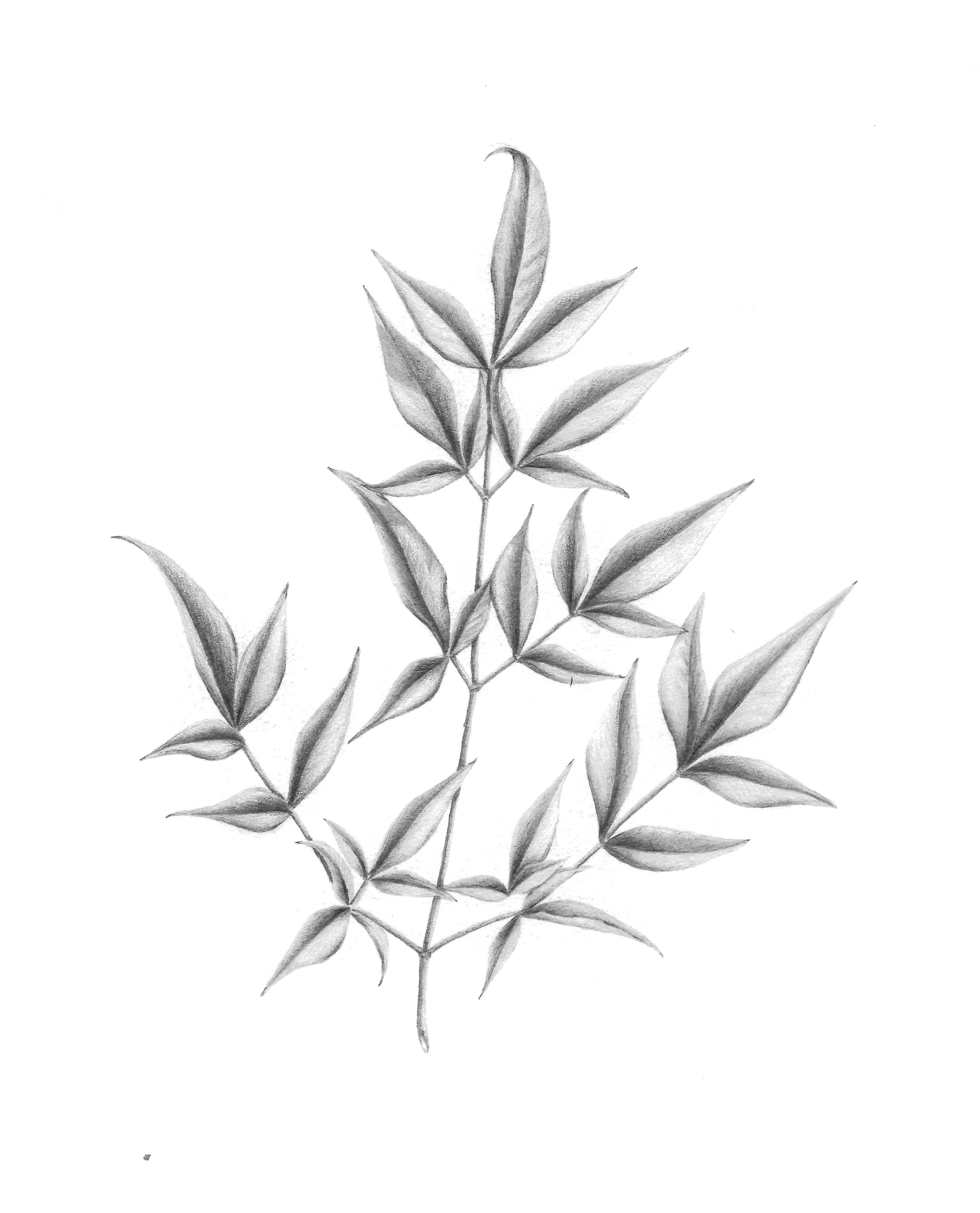 Nandina domestica - Graphite